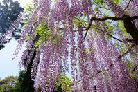 萬葉植物園(2)@2017-05-08 - (新)トラちゃん&ちー・明日葉 観察日記
