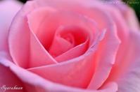 Roses blooming in May - Tom's Photo Gallery~写楽庵~