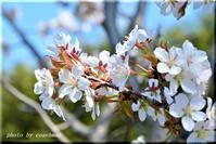 平岡樹芸センターの桜 - 北海道photo一撮り旅