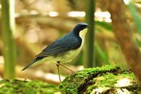 コルリ(Siberian blue robin)/2017.05 - Birding