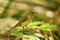 ルリビタキ(Red-flanked bluetail)/2017.05 - Birding