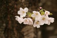 1149 遠野の桜 2017 (4) - 四季彩空間遠野