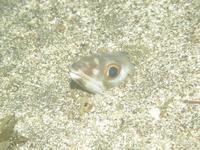 2010.09 伊豆山 The 2nd Dive - ランゲルハンス島の海