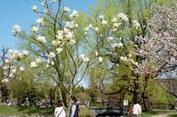 中島公園のモクレンとマンションのモクレン - 照片画廊