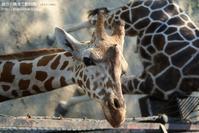もうすこし、あとすこし - 朝から晩まで動物園。(サファリもね)