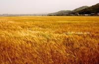 麦畑・・・ - 花々の記憶