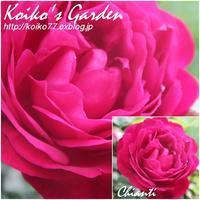 Koiko's Rose Collection 2017(2) 恋子のバラ - 恋子のガーデニング日記