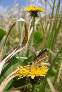ギンイチの吸蜜植物とウスバシロチョウ(2017/4/28.29) - 小畔川日記