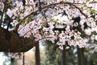 桜3 - モノクロポートレート写真館