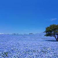 サムシングブルーどころではない空とネモフィラの青。 - アーマ・テラス   ウエディングブログ