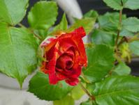 バラが咲きました - こまち日和