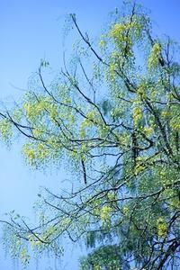 夏の花盛り・定点観測 - Blue Lotus