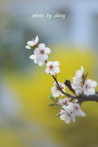 梅の花 - ロマンティックフォト北海道☆カヌードデバーチョ