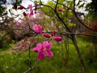 ヤシオの季節終焉 - 日光を漂ふ