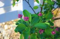 姫リンゴが満開に - HOME SWEET HOME ペコリの庭 *