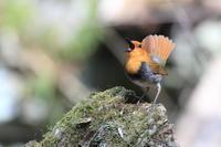 コマドリ 尾羽を開いて - 気まぐれ野鳥写真