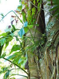 デンドロビウム・リネアリフォリウム (Bali 2017 #17) - Blog: Living Tropically