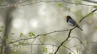 クロツグミ - 北の野鳥たち