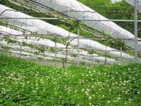 亜主枝の作り直し - 葡萄と田舎時間