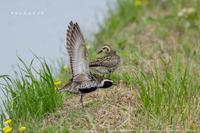 畦で体操するムナグロ - Slow Life is Busy
