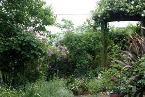 雨が降り、開花のスピードが遅くなった?お庭の薔薇たち♪ - Reon&Roses+Lara