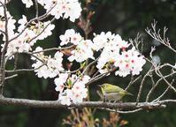 桜と小さな野鳥たち - 模糊の旅人