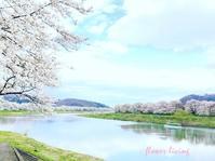 宮城・白石川堤の一目千本桜 - flower living