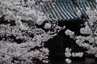 桜  2017  立本寺 - 写真部