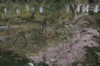 醍醐寺の桜 - Shadow