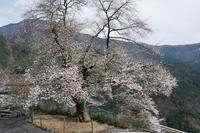 浜松市天竜区 桜  Apr. 2017  #005 - hama-take の blog