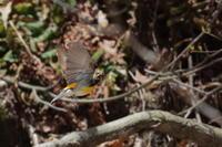 キビタキとコサメビタキの飛翔シーン - 上州自然散策2