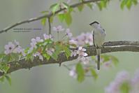 GW2_3 桜に付いた、、、、 - healing-bird