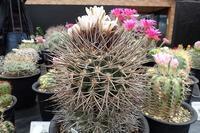 「サボテンと多肉植物展」あとわずか! - 手柄山温室植物園ブログ 『山の上から花だより』