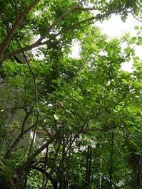「Happiness ガーデン」と名付けています  開花状況 - 心とカラダが元気になるアロマ&ハーブガーデン教室chant rose