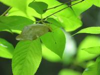 クモガタヒョウモン♀初見 - 秩父の蝶