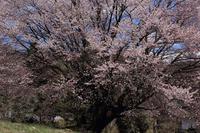 妖艶の天王桜  - 風の彩り-2