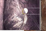 今週のオオコノハズク - おらんくの自然満喫