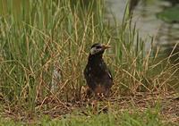大群をつくる迷惑な鳥「ムクドリ」 - JUNJUNのブログへようこそ!