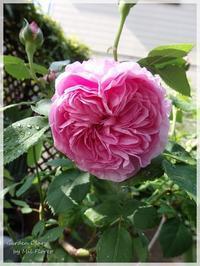 Rosas... una tras otra - Garden Diary