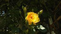 薔薇の季節 - 夢子さんのミシン