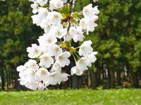 桜の季節も過ぎて - 里山の機織りばぁば