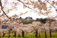 悠久山の桜 - the best shot Ⅳ