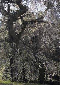 名残の桜 - ほほえみ