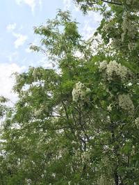 アカシアの花 - つぶやき『Cauliflower』