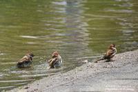 初夏の風景のツバメの巣造り始まる(*^^*) - 自然のキャンバス