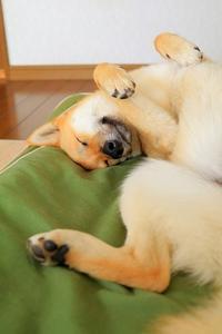 寝顔。 - 結局ただの犬バカです。