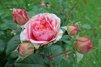 庭のバラも咲きました、ペルージャ - ペルージャ イタリア語・日本語教師 なおこのブログ - Fotoblog da Perugia