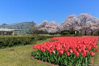 京のさくら2017 京都府立植物園は桜花爛漫 - ぴんぼけふぉとぶろぐ2