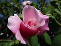 薔薇 - 趣味の部屋0074