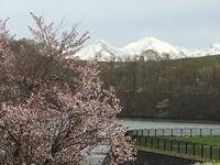 「聖台ダム」の桜と美瑛の庭 - IL PARADISO VERDE DI NORINA ~美瑛印象派ガーデン便り~
